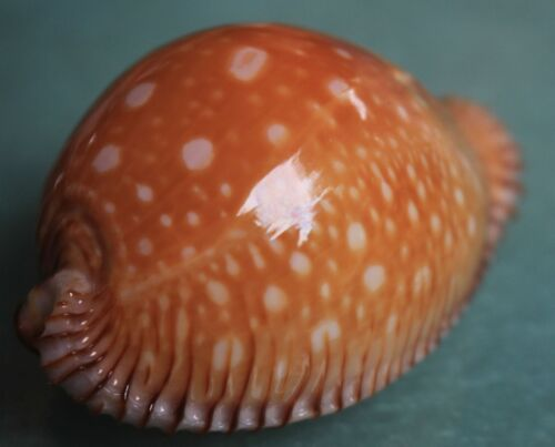 Sea shells cypraea guttata giant 61mm caught in Bohol  150meters Sept 305 2021