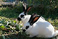 RABBITS FOR SALE- MALE ONLY