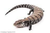 Indo/eastern Blue Tongue Skink