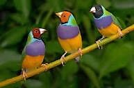 Gouldian finches Cumberland Park Mitcham Area Preview