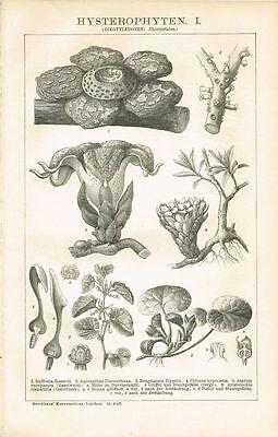 Botanische Tafel OSTERLUZEI / HASELWURZ 1894 Original-Holzstich
