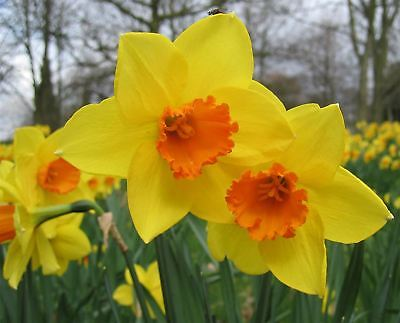 DWARF DAFFODIL NARCISSUS YELLOW GARDEN AUTUMN BULBS SPRING FLOWERING CORM (Plant Narcissus Bulbs)