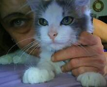 Adoption fee reduced to $145.00 for Clayton, the fluffy kitten. Edens Landing Logan Area Preview