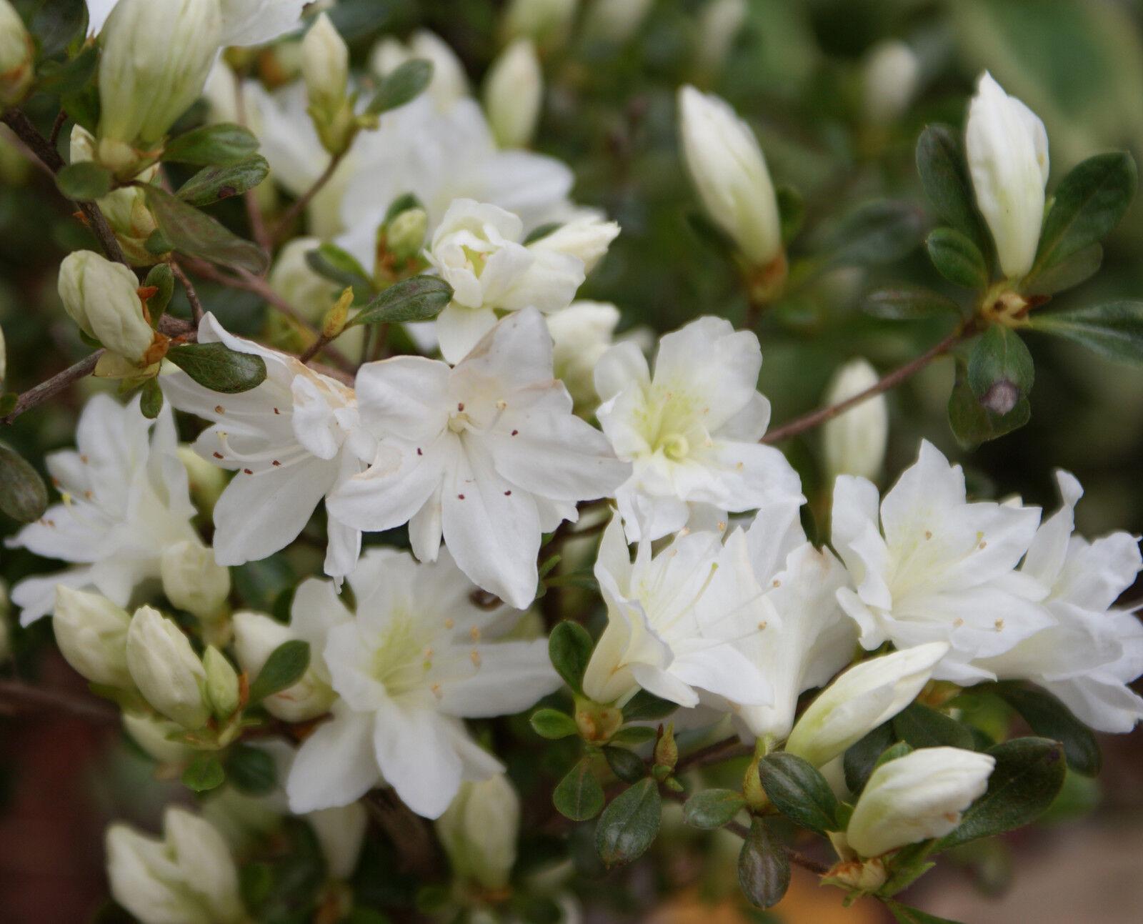 Azalea Japonica White Lady Rhododendron 20 30cm Tall In 2l Pot Ebay