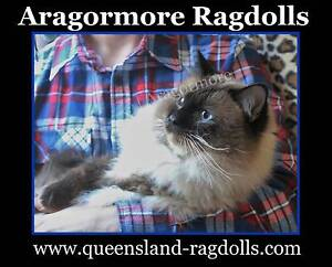 Ragdoll Adult Males Registered Breeders only, Seal Pt Blue & Choc Browns Plains Logan Area Preview