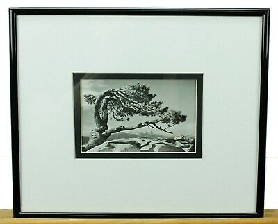 Pine Tree Jeffrey Adams Black & White Framed Art Photo Print ()