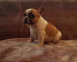 French Bulldog Puppies Nelson Bay Port Stephens Area Preview