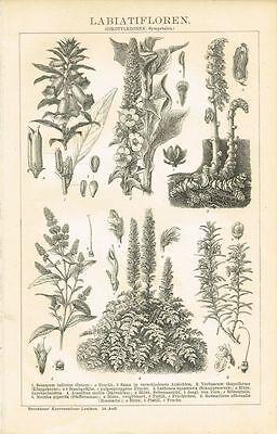 Botanische Tafel SESAM / KÖNIGSKERZE / MINZE / ROSMARIN 1894 Original-Holzstich