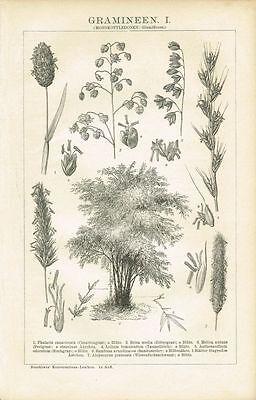 Botanische Tafel ZITTERGRAS / BAMBUS / GRÄSER 1894 Original-Holzstich