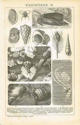 Tafel SCHNECKEN / KEGELSCHNECKE / WEICHTIERE 1895 Original-Holzstich