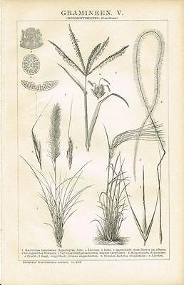 Botanische Tafel GRÄSER / ESPARTOGRAS / FEDERGRAS 1894 Original-Holzstich