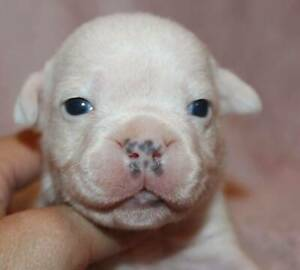 Staffordshire Bull Terrier puppy's