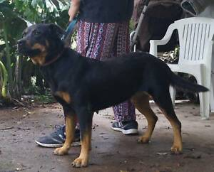 Rottweiler Dogs Puppies Gumtree Australia Free Local Classifieds