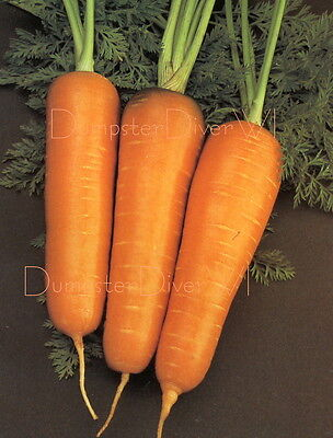 Royal Chantenay Carrot 100+ Organic seeds BEST FOR HEAVY SOILS Heirloom