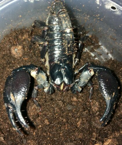Giant Asian Forest Scorpion ( Heterometrus spinifer) Educational