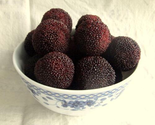 RARE-3-graines-FRAISE-CHINOISE-Myrica-Rubra-YANGMEI-FRUIT-H409-YUMBERRY-SEEDS