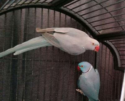 Healthy Breeding Pair of Blue Indian Ringnecks