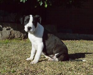 Black Female American Staffy Pup PAPERED | Dogs & Puppies