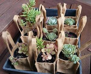 Succulents for sale Chigwell Glenorchy Area Preview