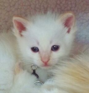 Flame point Siamese kittens . Sale/trade