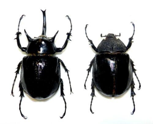 Dynastidae: Megasoma mars....PAIR....Peru....BIG SIZE....VERY RARE!