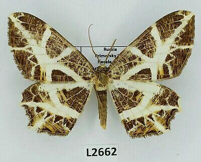 Geometridae, Mesastrape fulguraria, male, A2, Russia