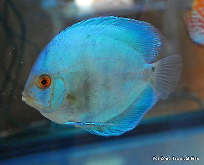 Blue Diamond Discus - Beautiful Live Freshwater Tropical Fish