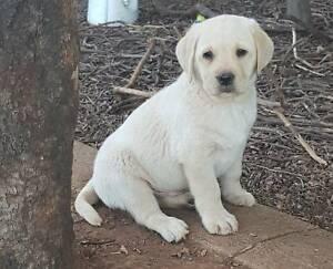 Labrador puppies  Dogs NSW Member 2100070661.