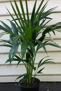 KENTIA PALM SALE -THIS WEEKEND ONLY Kilsyth South Maroondah Area Preview