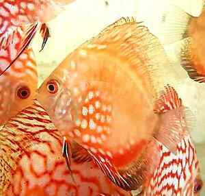 10x red pigeon blood  discus Ellenbrook Swan Area Preview