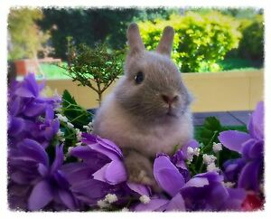 Purebred Baby Netherland Dwarf for Sale Medowie Port Stephens Area Preview