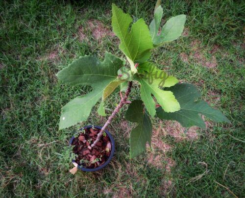 raspberry latte  fig tree free phytosanitary certificate