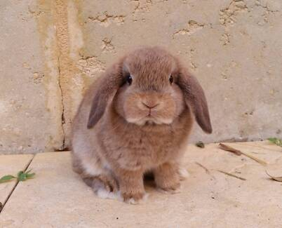 READY NOW Mini Lop Rabbit Babies -Purebred, vaccinated & friendly