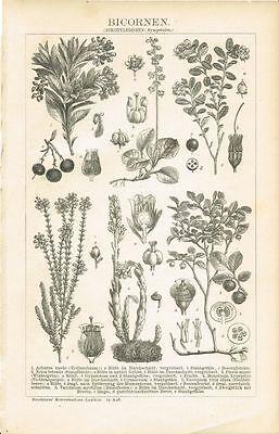 Botanische Tafel ERDBEERBAUM / PREISELBEERE/ HEIDELBEERE Original-Holzstich 1894
