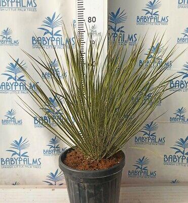 Yucca elata 40-50 cm, Maceta 10 litros