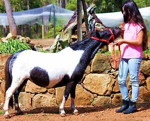 MINIATURE HORSE MARE PACKAGE DEAL MAY BE IN FOAL TO TOYMAKER Forest Grove Margaret River Area Preview