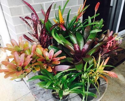 Bromeliad landscaping packs