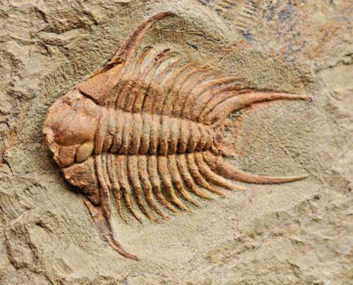 RARE, Museum Quality, Foulonia sp trilobite, from Morocco