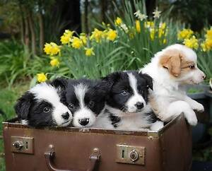 Border Collie (long haired) Pups Hurstbridge Nillumbik Area Preview