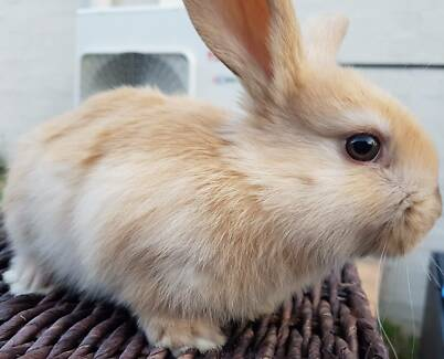 Mini Lop Rabbits - Super cute!