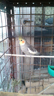 Cocketiel for sale