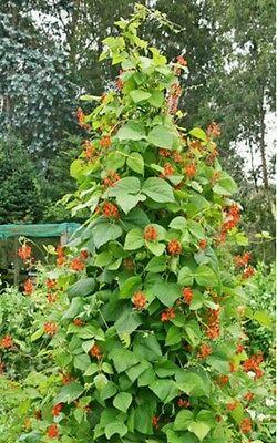 Scarlet Runner Pole Bean 30 Seeds Ornamental   Edible