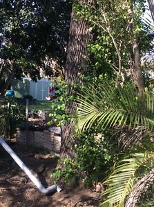 Silky oak timber / tree removal Sandgate Brisbane North East Preview
