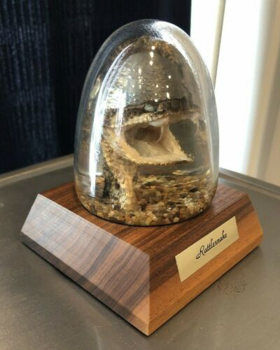 Vintage Rattlesnake Head Crystal Vu Embedment Walnut Wood Display Case Taxedermy