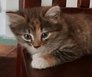 Turkish angora kitten female