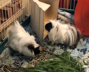 2 Male Guinea Pigs Cute and Fluffy