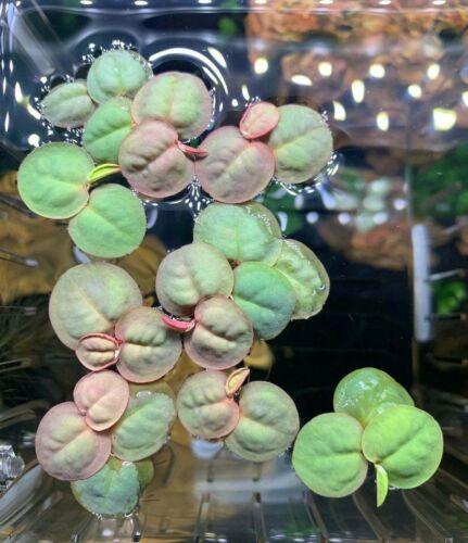 [ 15+ Red Root Floaters + FREE BONUS PLANT ] Live Aquarium Floating Plant