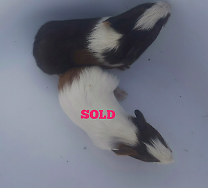 Male Baby Guineapig-1 left. Burra Queanbeyan Area Preview