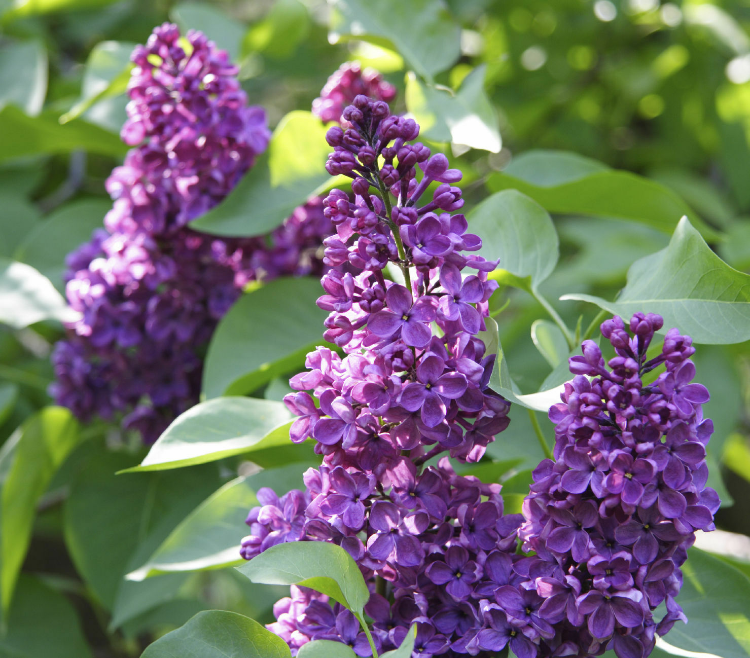 Charles Joly Syringa Vulgaris Branched Lilac Tree 30