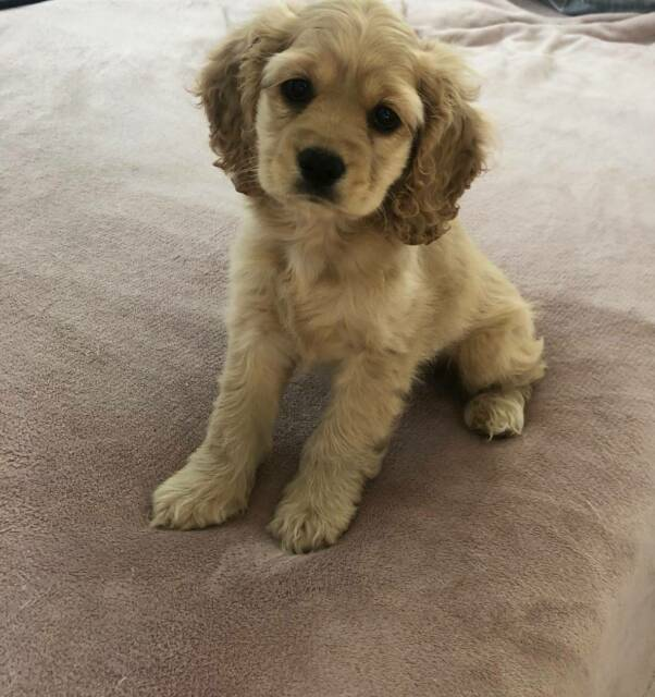 Adorable Cavoodle puppy | Dogs & Puppies | Gumtree